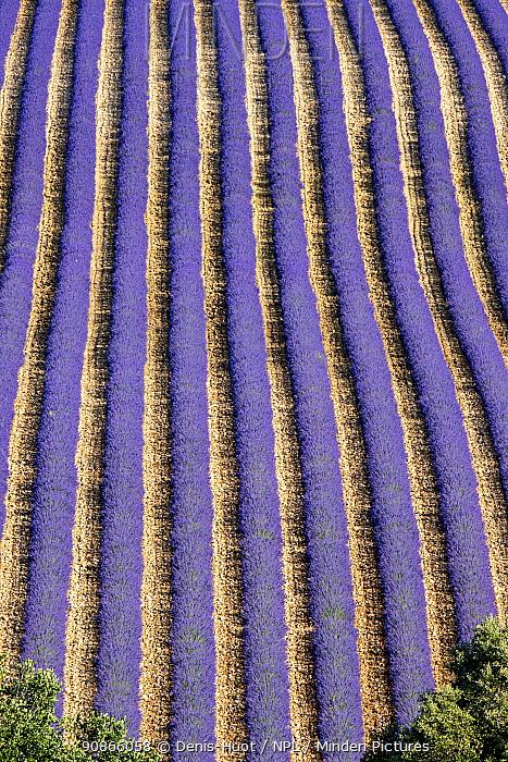 Lavender (Lavandula sp) field, aerial view, near Greoux-les-Bains, Alpes de Haute Provence, France, September.