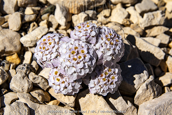 Candytuft flowers (Iberis candolleana) in the rocky scree, peak of Mount Ventoux, Vaucluse, France, June.