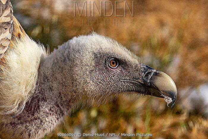 Griffon vulture (Gyps fulvus) portrait, France, July.