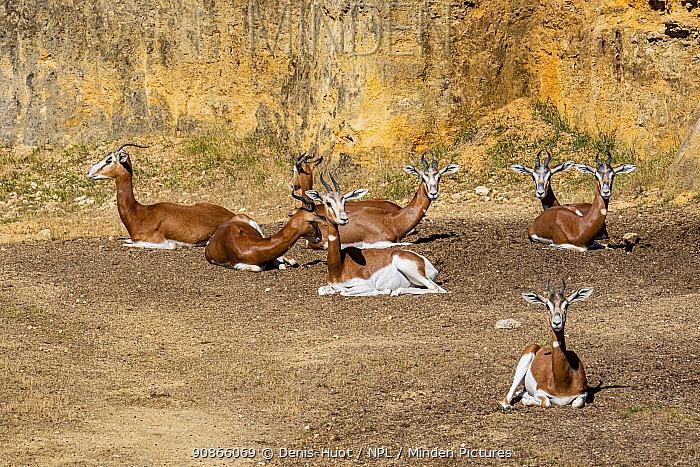 Dama gazelle (Nanger dama mhorr) captive, occurs in Africa.