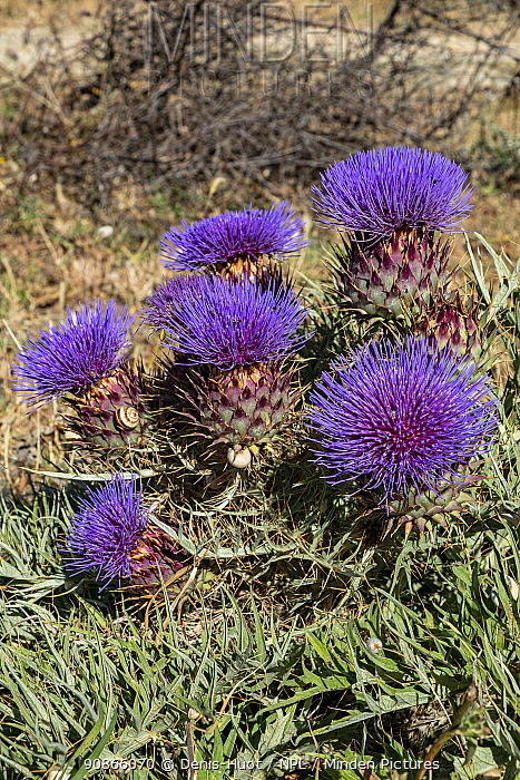 Thistles (Cynareae) in flower, Cadix, Andalucia, Spain