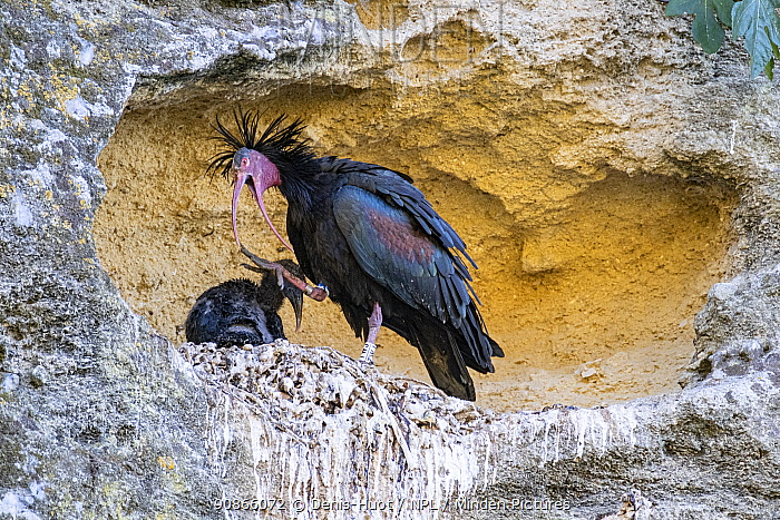Northern bald ibis (Geronticus eremita), adult with chicks at the nest, near Barbate, Andalucia, Spain, June.