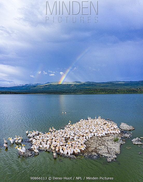 Aerial view of Great white pelicans (Pelecanus onocrotalus) nesting on islands in Lake Elementeita, Soysambu Conservancy, Kenya