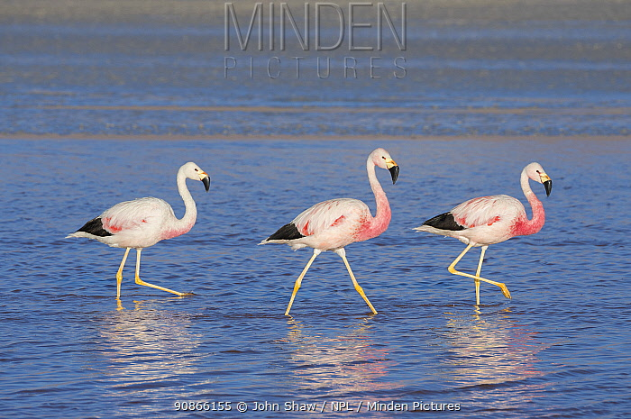 Andean flamingos (Phoenicoparrus andinus) reflected in water , Laguna Colorado, Eduardo Avaroa Andean Fauna National Reserve, altiplano of Bolivia. March.