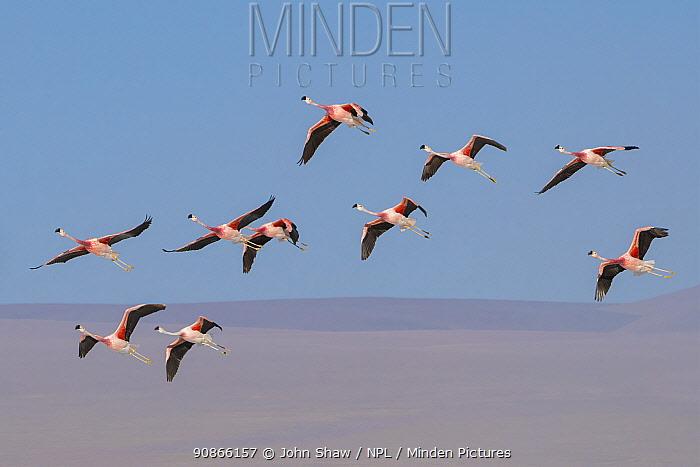 Andean flamingo (Phoenicoparrus andinus) flock in flight, Laguna Colorado, Bolivia. March.