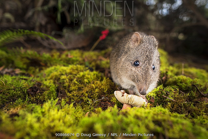 Long-nosed Potoroo (Potorous tridactylus) eating fungi. Captive, photographed under controlled conditions. Conservation Ecology Centre, Victoria, Australia. June 2017.