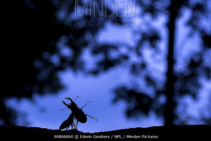 Stag beetle (Lucanus cervus) males fighting at dusk in oak wood, the Netherlands, June