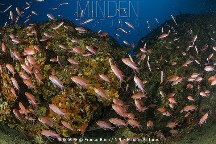 Mediterranean fairy basslet (Anthias anthias) and yellow sponges, Punta Campanella Marine Protected area, Costa Amalfitana / Amalfi coast, Italy, Tyrrhenian Sea, Mediterranean. October