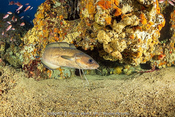 Forkbeard / musdea (Phycis phycis), Punta Campanella Marine Protected area, Costa Amalfitana / Amalfi coast, Italy, Tyrrhenian Sea, Mediterranean. October