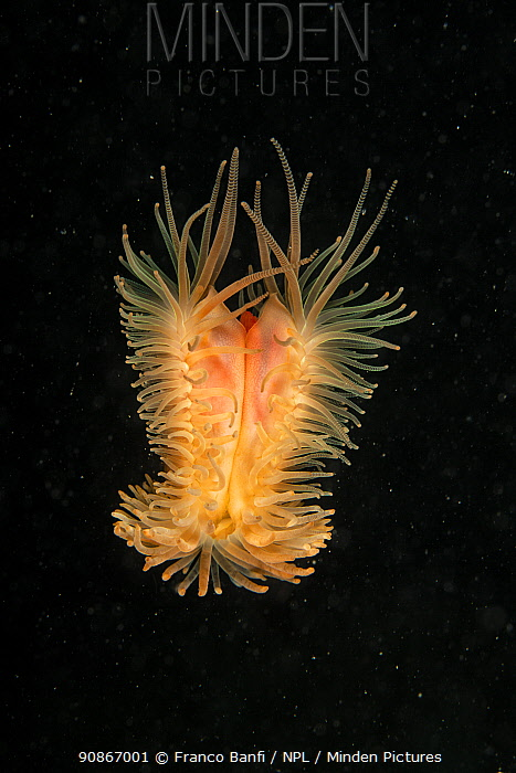 Flame scallop (Limaria hians / Lima hians), Puolo, Punta Campanella Marine Protected area, Costa Amalfitana / Amalfi coast, Italy, Tyrrhenian Sea, Mediterranean. October