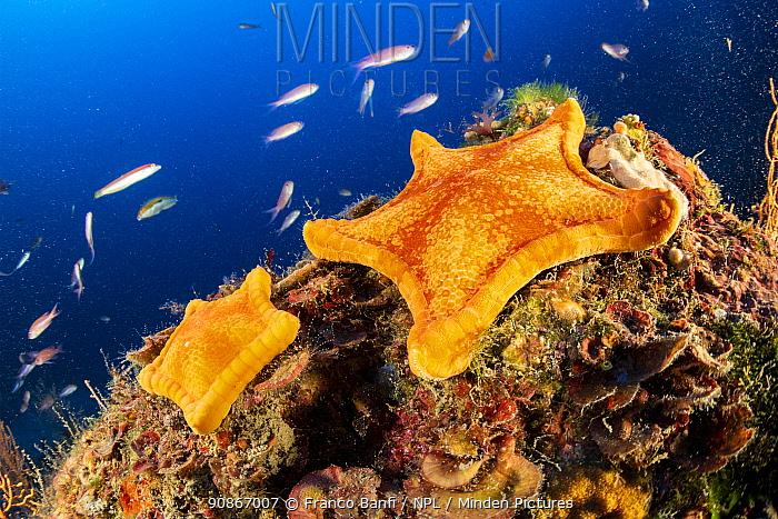 Two Penta star (Peltaster placenta) Punta Campanella Marine Protected area, Costa Amalfitana / Amalfi coast, Italy, Tyrrhenian Sea, Mediterranean. October