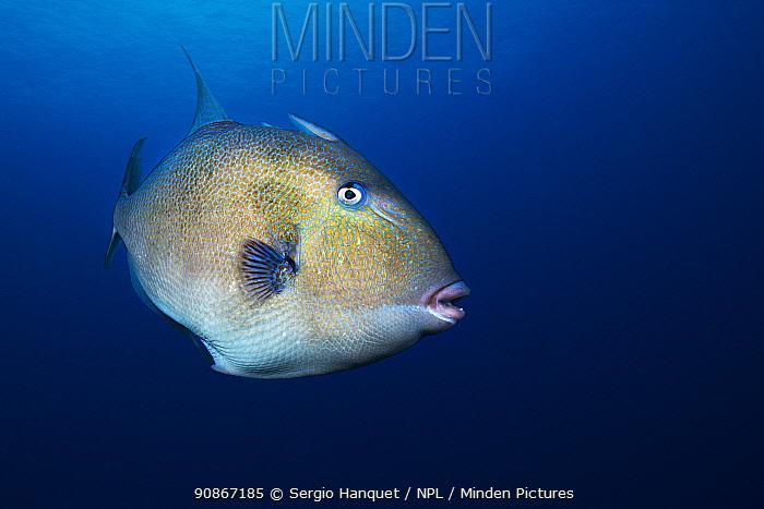 Grey triggerfish (Balistes capriscus) portrait, Tenerife, Canary Islands. August