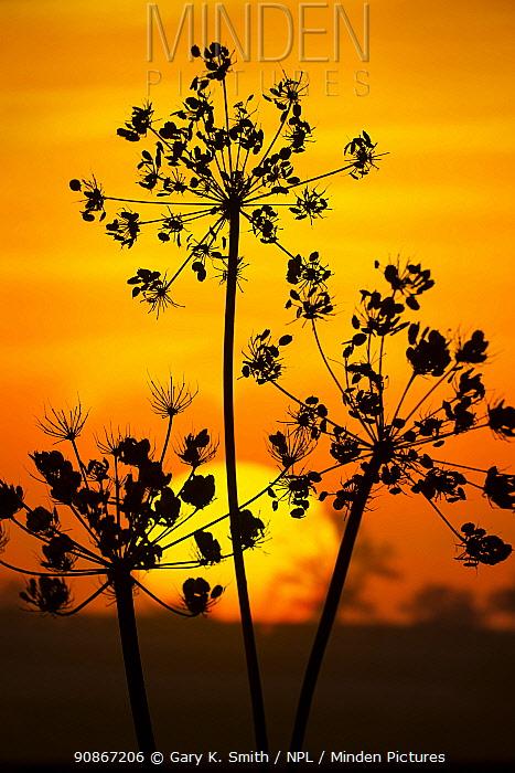 Hedge Parsley (Torilis japonica) seed head umbels, silhouetted at sunset, Norfolk, England, UK. October.