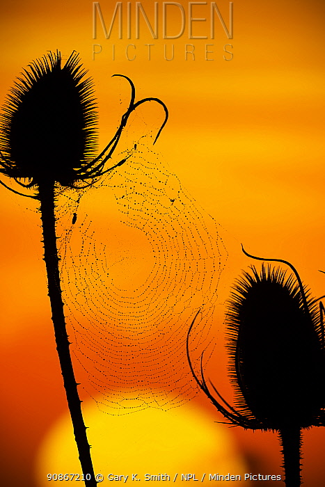 Teasel (Dipsacus fullonum) seed heads silhouetted at sunset, Norfolk, England, UK, October.