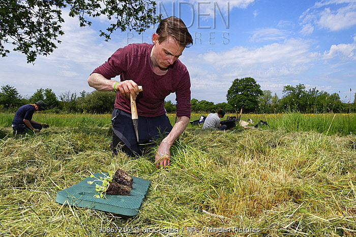 Wiltshire Wildlife Trust volunteer using a dibber to create holes for planting Devil's bit scabious (Succisa pratensis) plant plugs in a mown patch of a formerly farmed meadow to provide food for caterpillars of the Marsh fritillary butterfly (Euphydryas aurinia), Upper Minety Meadows reserve, Wiltshire, UK, June. Model released