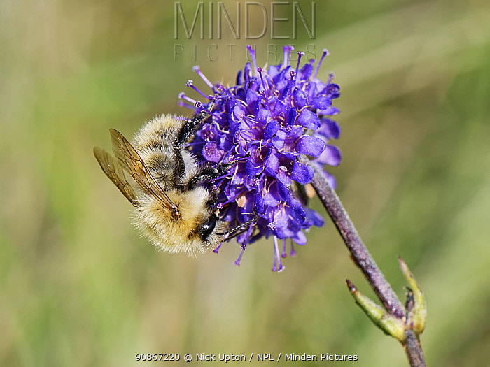 Common carder bee (Bombus pascuorum) visiting a Devil's bit scabious (Succisa pratensis) flower in a chalk grassland meadow, Wiltshire, UK, September.