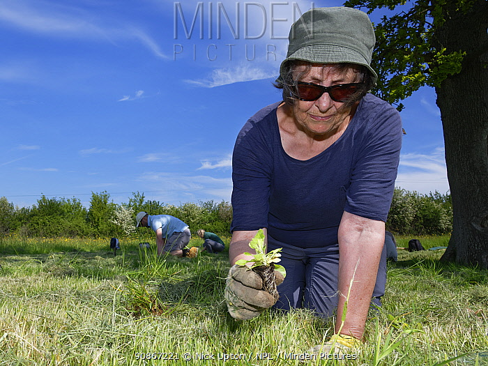 Wiltshire Wildlife Trust volunteers planting Devil's bit scabious (Succisa pratensis) plant plugs in a mown patch of a formerly farmed meadow to provide food for caterpillars of the Marsh fritillary butterfly (Euphydryas aurinia), Upper Minety Meadows reserve, Wiltshire, UK, June. Model released