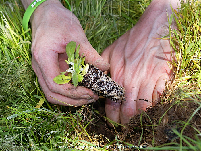 Devil's bit scabious (Succisa pratensis) plug being planted in a formerly farmed meadow by a Wiltshire Wildlife Trust volunteer to provide food for caterpillars of the Marsh fritillary butterfly (Euphydryas aurinia), Upper Minety Meadows reserve, Wiltshire, UK, June. Model released