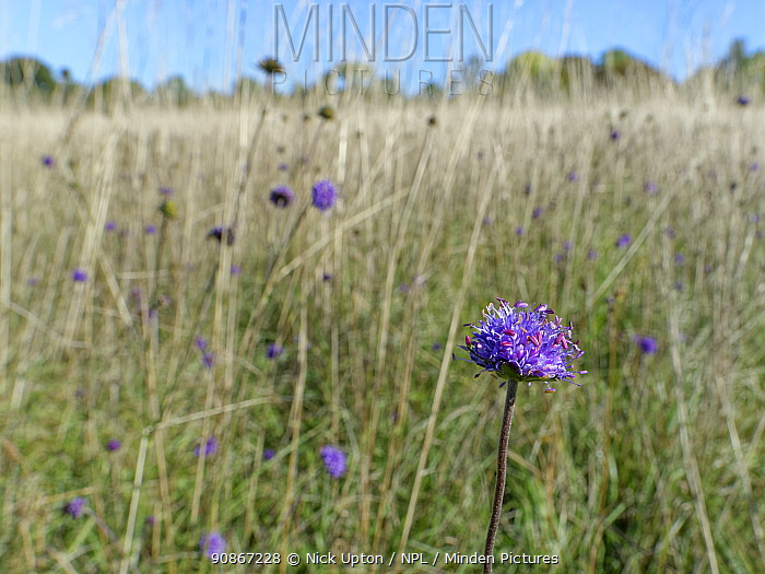 Devil's bit scabious (Succisa pratensis) stand flowering in a chalk grassland meadow in autumn after other flowers have set seed, Wiltshire, UK, September.