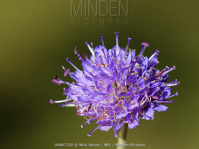 Devil's bit scabious (Succisa pratensis) flowering in a woodland ride, Lower Woods, Gloucestershire, UK, October.