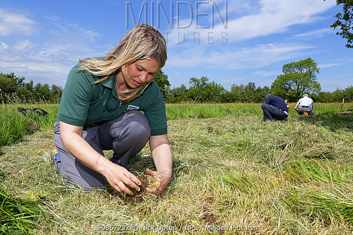 Ellie Jones of Wiltshire Wildlife Trust and two volunteers planting Devil's bit scabious (Succisa pratensis) plant plugs in a formerly farmed meadow to provide food for caterpillars of the Marsh fritillary butterfly (Euphydryas aurinia), Upper Minety Meadows reserve, Wiltshire, UK, June. Model released