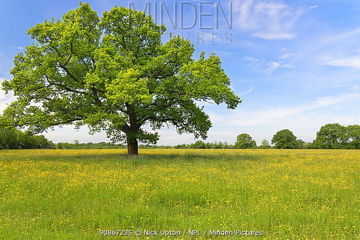 English oak tree (Quercus robur) standing in a formerly farmed meadow with many flowering Meadow buttercups (Ranunculus acris) surrounded by mature hedgerows, Wiltshire Wildlife Trust's Upper Minety Meadows reserve, Wiltshire, UK, June.