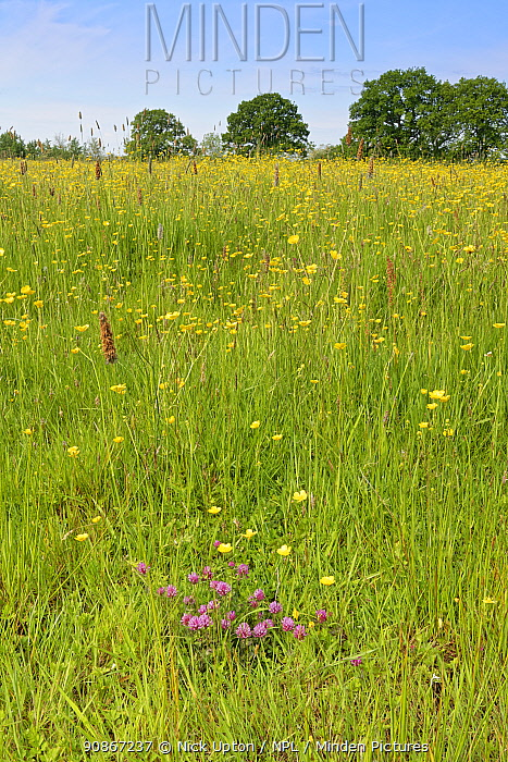 Formerly farmed meadow with a clump of flowering Red clover (Trifolium pratense) and dense stands of Meadow buttercups (Ranunculus acris) surrounded by mature hedgerows and English oak trees (Quercus robur), Wiltshire Wildlife Trust's Upper Minety Meadows reserve, Wiltshire, UK, June.