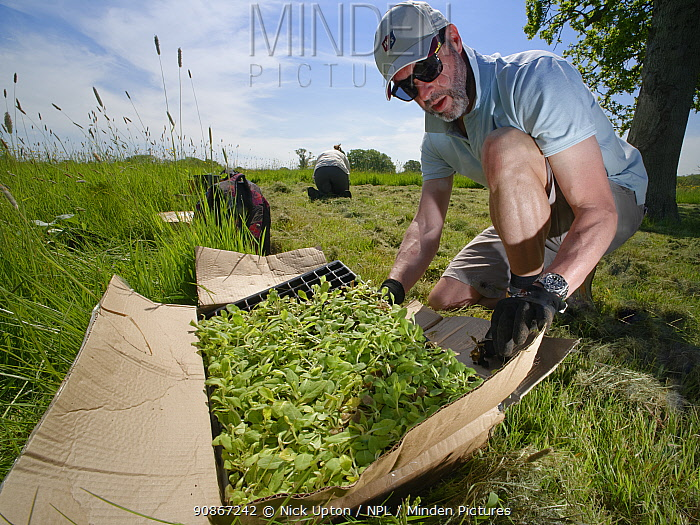 Wiltshire Wildlife Trust volunteer with a tray of Devil's bit scabious (Succisa pratensis) plant plugs, as another plants some in a formerly farmed meadow to provide food for caterpillars of the Marsh fritillary butterfly (Euphydryas aurinia), Upper Minety Meadows reserve, Wiltshire, UK, June. Model released