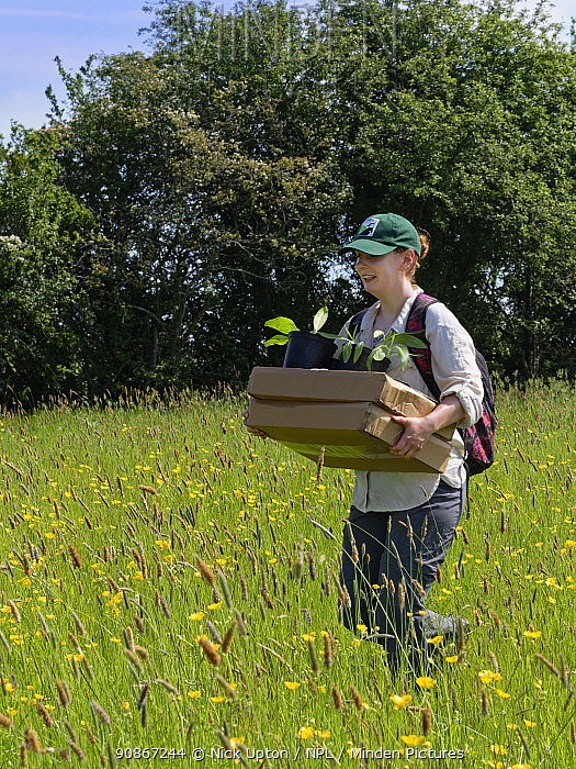 Wiltshire Wildlife Trust volunteer carrying trays and pots of Devil's bit scabious (Succisa pratensis) plant plugs for planting in a formerly farmed meadow to provide food for caterpillars of the Marsh fritillary butterfly (Euphydryas aurinia), Upper Minety Meadows reserve, Wiltshire, UK, June. Model released