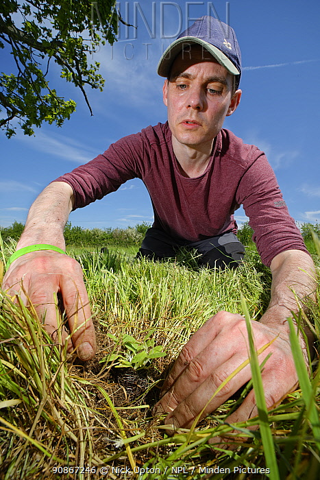 Wiltshire Wildlife Trust volunteer planting a Devil's bit scabious (Succisa pratensis) plant plug in a formerly farmed meadow to provide food for caterpillars of the Marsh fritillary butterfly (Euphydryas aurinia), Upper Minety Meadows reserve, Wiltshire, UK, June. Model released