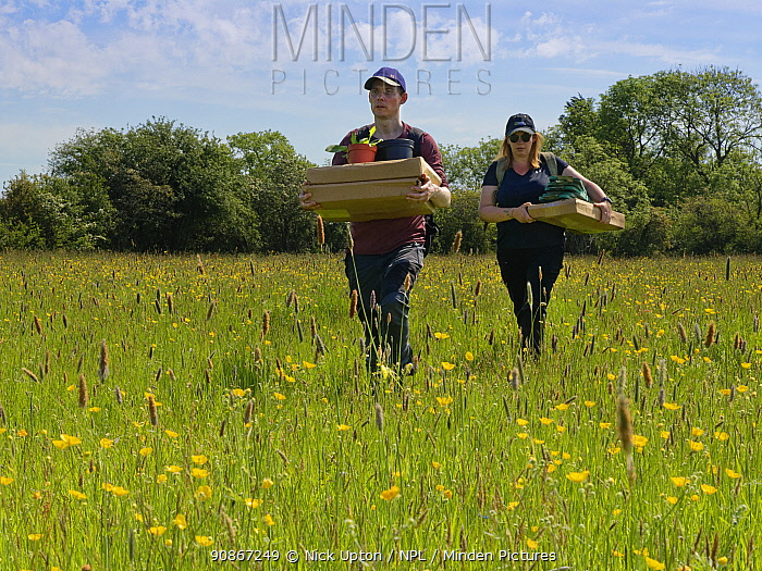 Wiltshire Wildlife Trust volunteers carrying trays of Devil's bit scabious (Succisa pratensis) plant plugs for planting in a formerly farmed meadow to provide food for caterpillars of the Marsh fritillary butterfly (Euphydryas aurinia), Upper Minety Meadows reserve, Wiltshire, UK, June. Model released