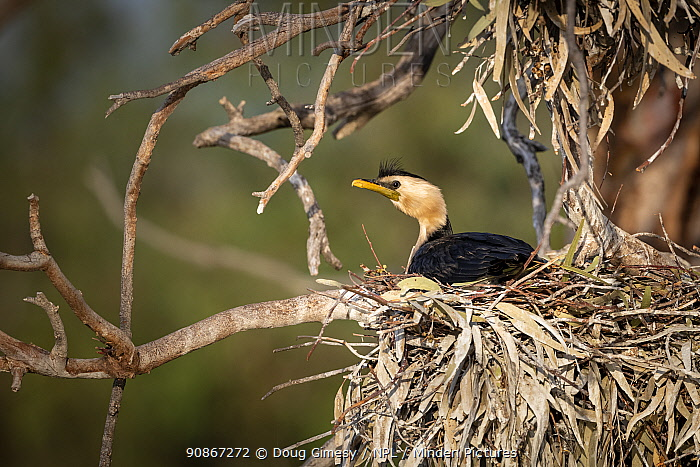 Little pied cormorant (Microcarbo melanoleucos) on nest during early morning. Middle Reedy Lake, Kerang, Victoria, Australia. November.