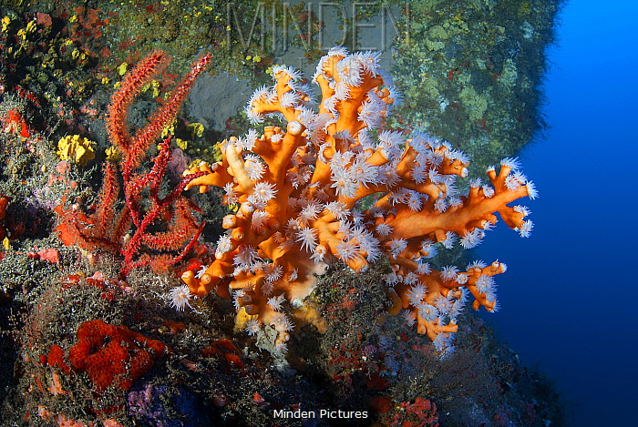 Orange coral (Dendrophyllia Ramea) and Red sea fan (Leptogorgia ruberrima) La Gomera, Canary islands.