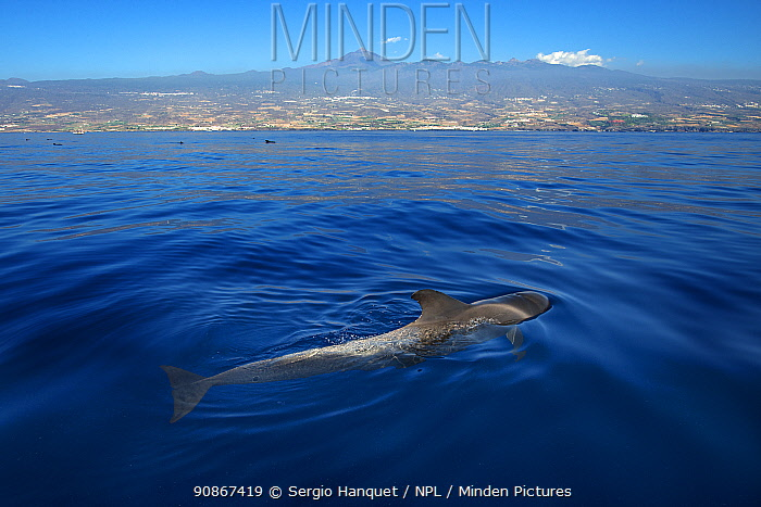 Pilot whale (Globicephala macrorhynchus) at the surface, Tenerife. Canary Islands.