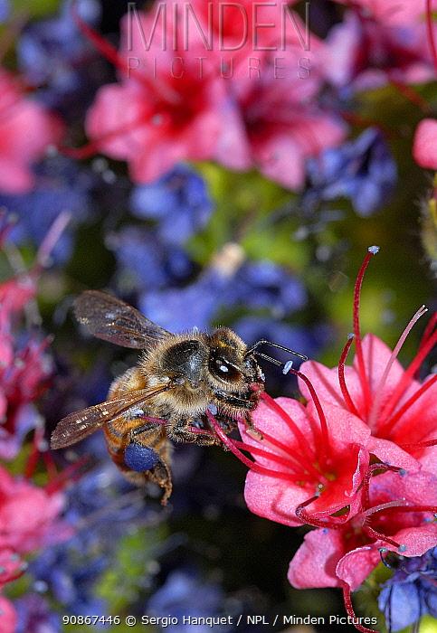 Honeybee (Apis melifera) visiting Tajinaste rojo (Echium wildpretii), is an endemic Tenerife plant. Tenerife, Canary Islands.