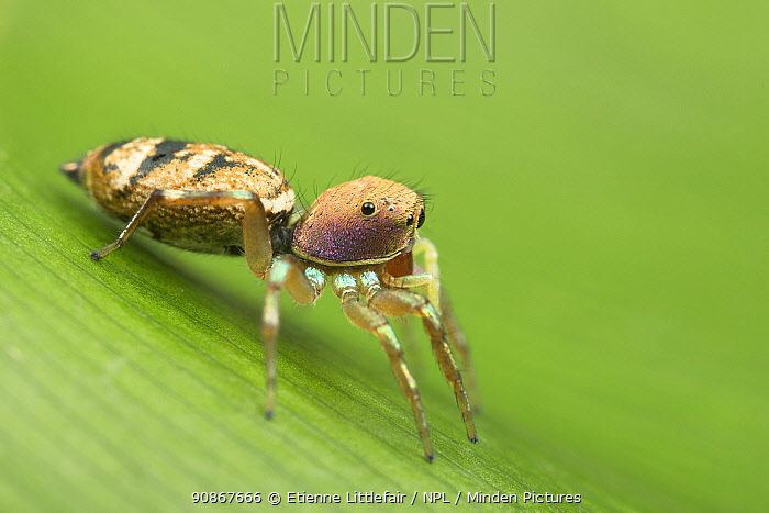 Baehr's jumping spider (Cosmophasis baehrae), adult female, Cairns, Queensland, Australia, June.