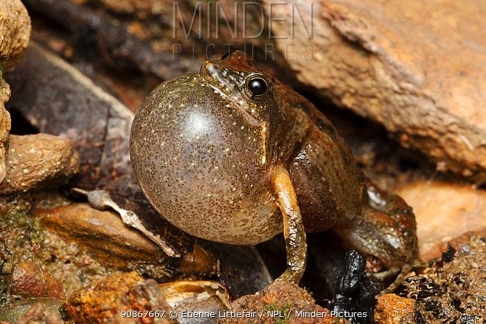 Bilingual frog (Crinia bilingua) adult male calling, Adelaide River, Northern Territory, Australia, January.