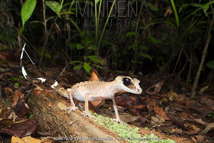 Chameleon gecko (Carphodactylus laevis), Atherton Tablelands, north Queensland, Australia, February.