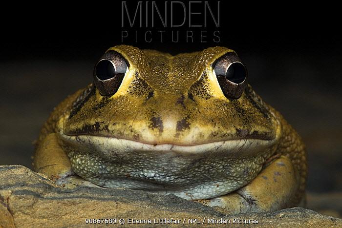 Eastern snapping frog(Cyclorana novaehollandiae), Mt. Carbine area, north Queensland, Australia, January.