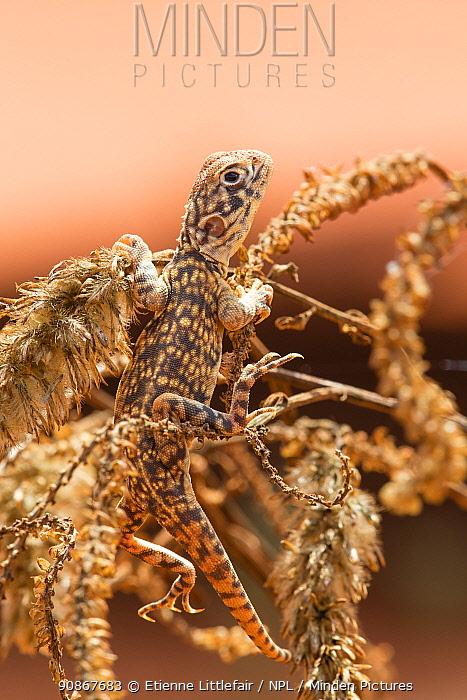 Central netted dragon (Ctenoporous nuchalis) basking on vegetation, Great Sandy Desert, Western Australia, December.