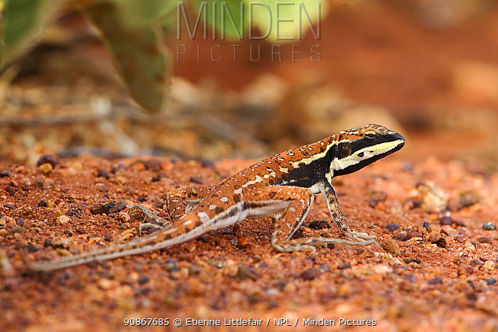 Central military dragon (Ctenophorus isolepis), adult male in breeding colours, near Erldudna, Northern Territory, November.