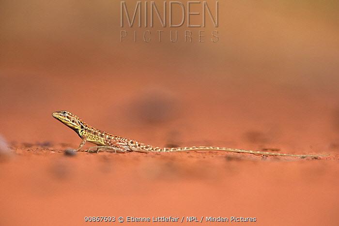 Central military dragon (Ctenophorus isolepis), Great Sandy Desert, Western Australia, December.