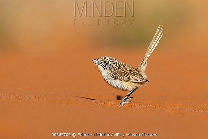 Eyrean Grasswren (Amytornis goyderi), Andado Station, Northern Territory, Australia, November.