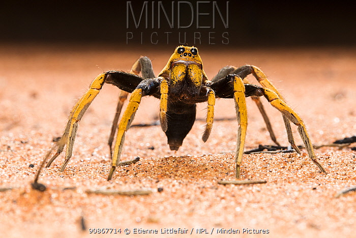 Two-coloured wolf spider (Hoggicosa bicolour), adult female guarding burrow, Great Sandy Desert, Western Australia, December.