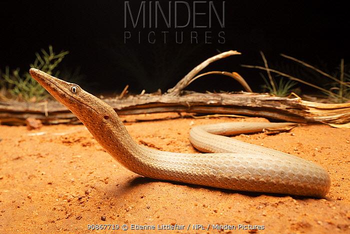 Burton's legless lizard (Lialis burtonis), near Tennant Creek, Northern Territory, Australia, November.