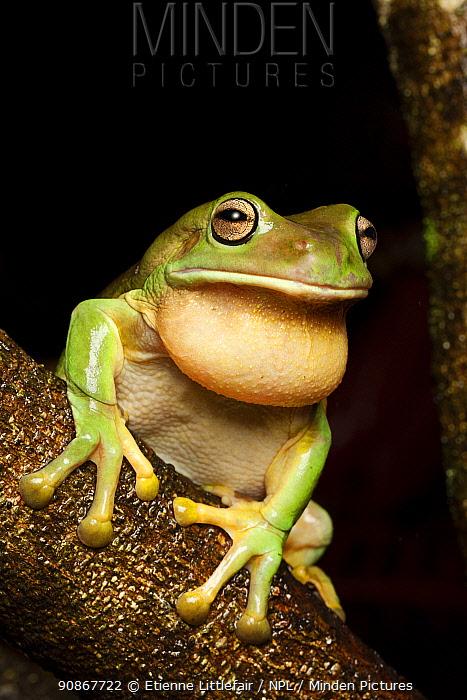 Green frog or White's frog (Litoria caerulea) adult male calling, Darwin, Northern Territory, Australia, January.