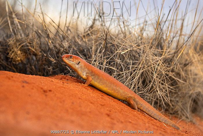 Great Desert Skink (Liopholis kintorei) returning to communal burrow, Yualara, Northern Territory, Australia, November.