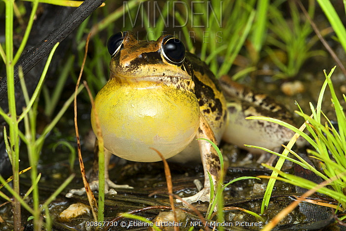 Striped rocket frog (Litoria nasuta), adult male calling with vocal sac inflated, Speewah, north Queensland, Australia, February.