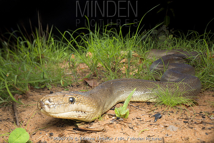 Olive python (Liasis olivaceous) Northern Territory, Australia, November.