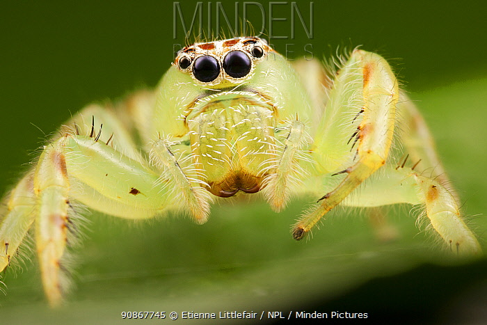 Northern green jumping spider (Mopsus mormon), adult female above nest, Darwin, Northern Territory, Australia, March.